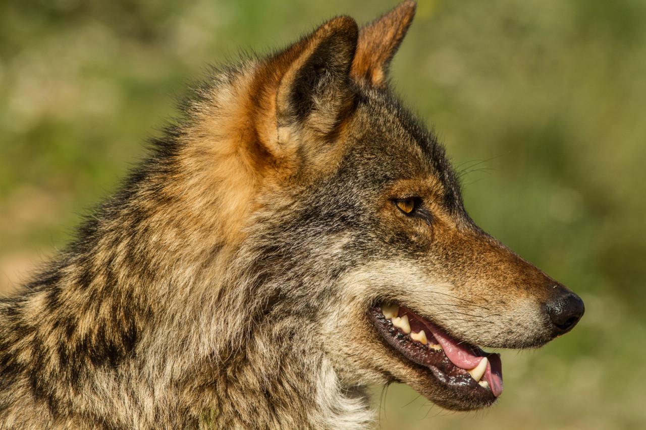 De lobos, política y posverdad